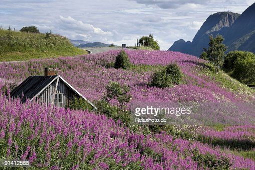 Beautiful landscape with shed and purple flowers in Norway (XXL)