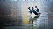 Beautiful light Great Cormorant group on lake water