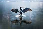 Beautiful light Great Cormorant spreading his wings sitting on a stone
