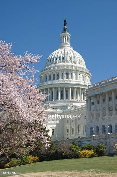 Beautiful light pink cherry blossoms at Capitol Hill