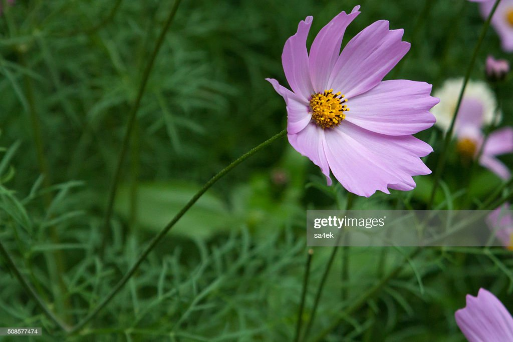beautiful lilac flower : Stock Photo