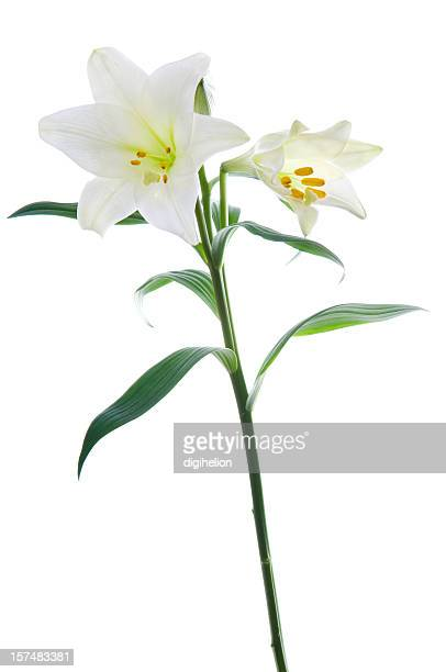 Beautiful lily flowers on white.