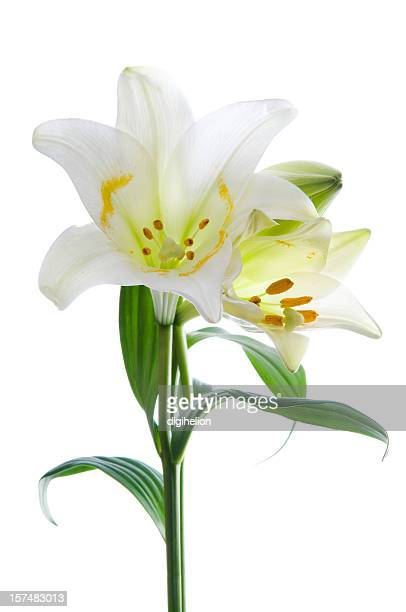 Beautiful lily on white.