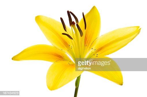 Hermoso lily en blanco. : Foto de stock