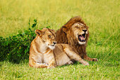 Portrait of beautiful lion and lioness resting at safari park, Masai Mara National Reserve