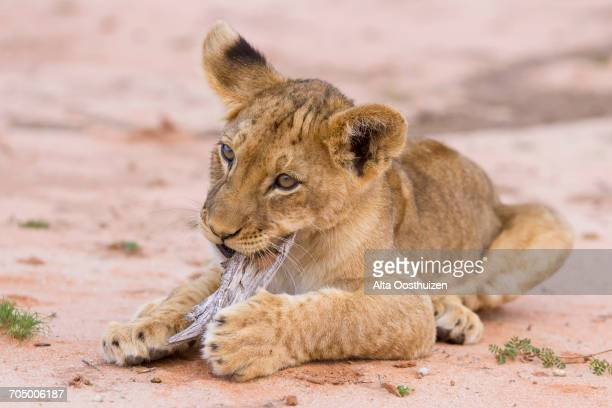 Beautiful lion cub on Kalahari sand playing with stick - Kgalagadi Transfronteer Park South Africa
