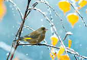 a beautiful little bird sitting in the Park on a tree with autumn leaves during a snowfall