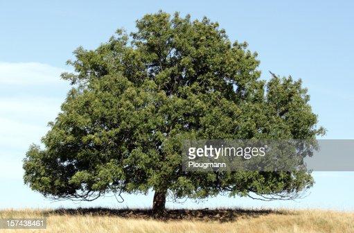 beautiful lonely ash tree on field