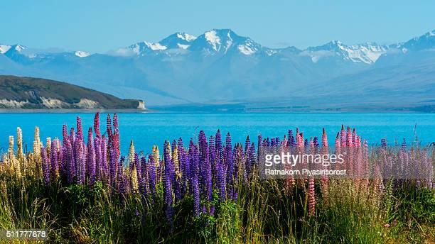 Beautiful lupines field over lake Tekapo