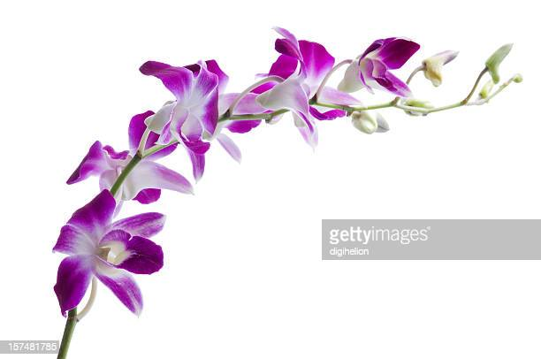 Beautiful luxury purple dendrobium orchids on white