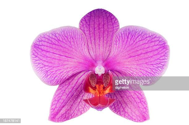 Beautiful luxury purple orchid on white background.