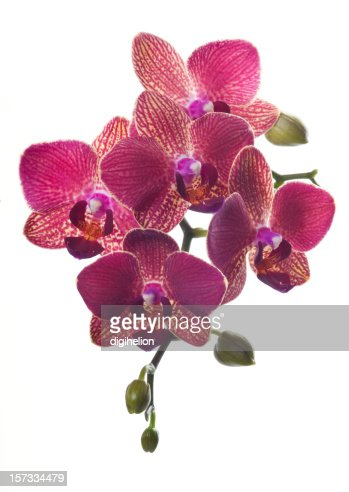 Beautiful magenta orchid on white