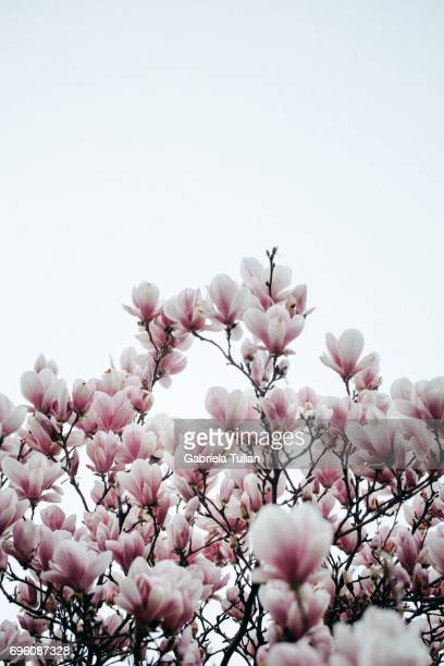 Beautiful magnolia blossom in early spring
