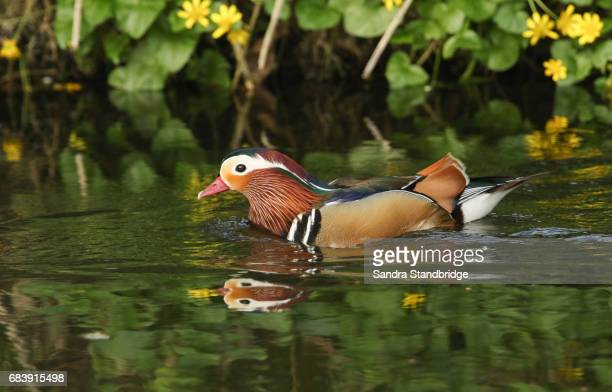 A beautiful male Mandarin Duck (Aix galericulata) swimming in a stream with a background of yellow celandine flowers.