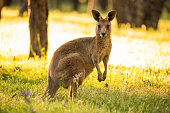 As the sun sets over the beautiful Warrumbungles National Park, Kangaroos emerge to spend the night eating grass and interacting. These shots capture the Eastern Grey Kangaroos in the golden light of