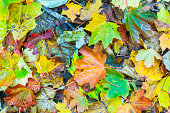 beautiful oak leaves in autumn at the tree gives a harmonic pattern