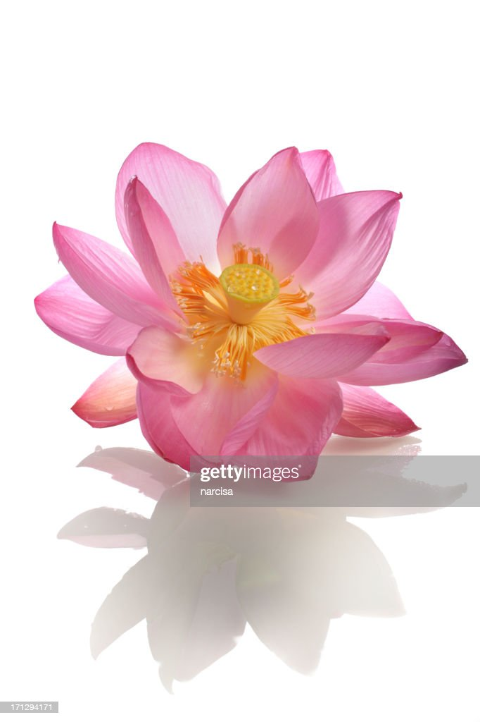 Beautiful opening pink sacred lotus with reflection