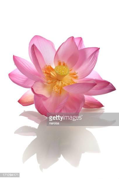 美しいオープンピンクの神聖な蓮花、反射