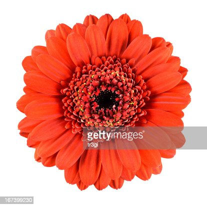 Beautiful Orange Gerbera Flower Isolated on White : Stockfoto