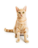 Cute little kitty with orange tabby coat and happy friendly expression sitting on white looking forward