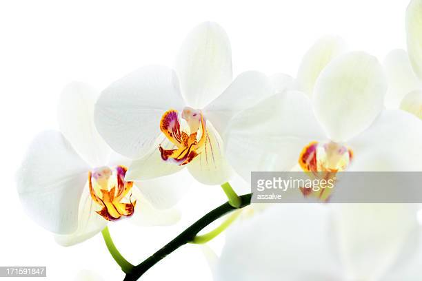 beautiful orchid macro and detail photo in backlit