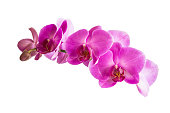 Beautiful orchid purple flowers isolated on white background.