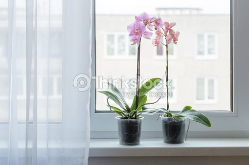 Schone Orchideen Auf Der Fensterbank Stock Foto Thinkstock