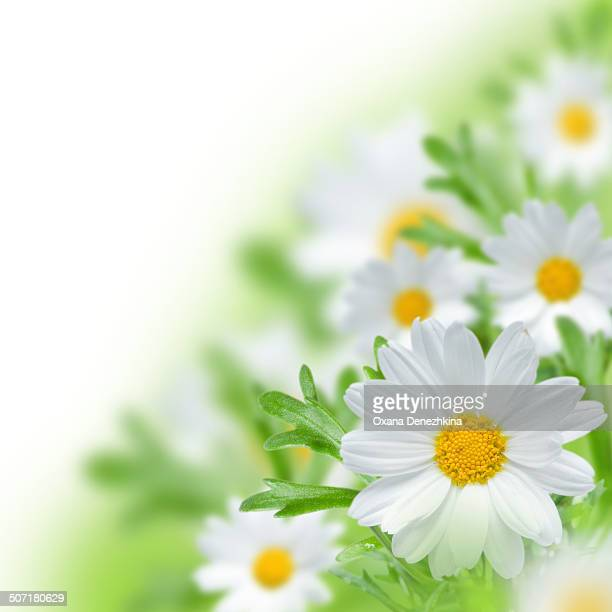 Beautiful ox-eye daisy with sun light