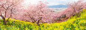 Beautiful panorama of Cherry Blossom in Matsuda , Japan