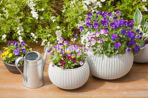 beautiful pansy summer flowers in flowerpots in garden : Stock Photo