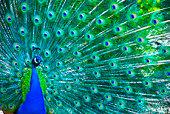 Schöne peacock