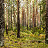 Beautiful pine forest at sunset. Long tree trunks and ferns on the ground.