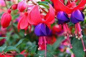 close-up of fuschia blossom and buds