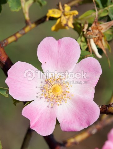 Beautiful pink and yellow flower of dogrose stock photo thinkstock beautiful pink and yellow flower of dog rose stock photo mightylinksfo Image collections