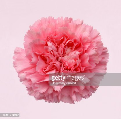 Beautiful pink carnation on white tinged with pink