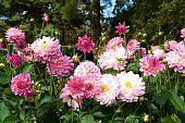 A picture of the beautiful pink dahlia in a garden.