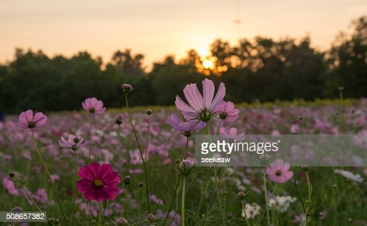 Beautiful pink flowers and sunset : Stock Photo