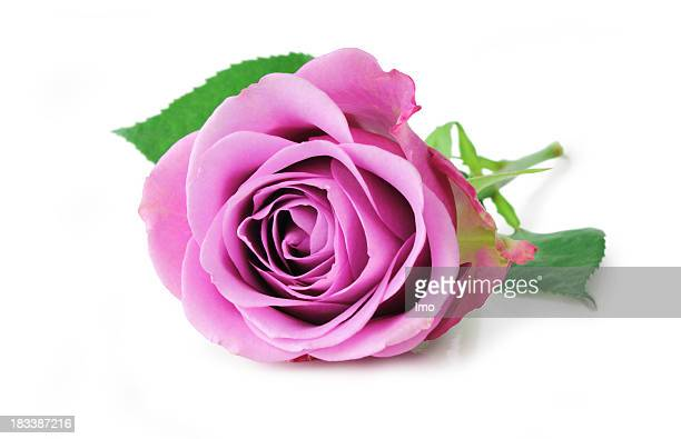 A beautiful pink Magenta rose isolated on white background