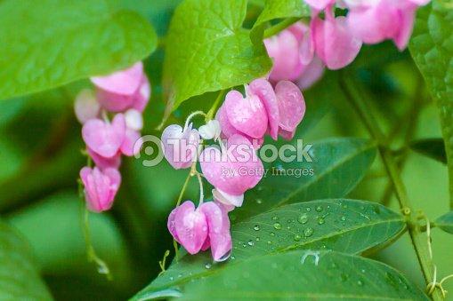 Belle Rose Fleur Plante Grimpante Mexicaine Photo Thinkstock