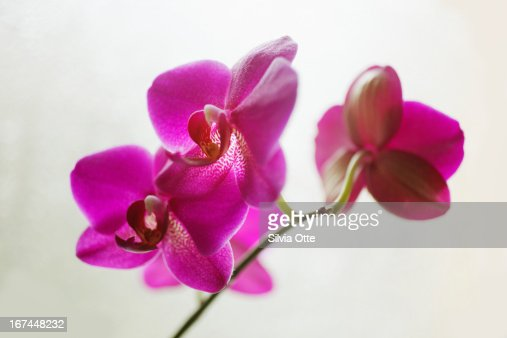 Beautiful pink red orchid : Stock Photo