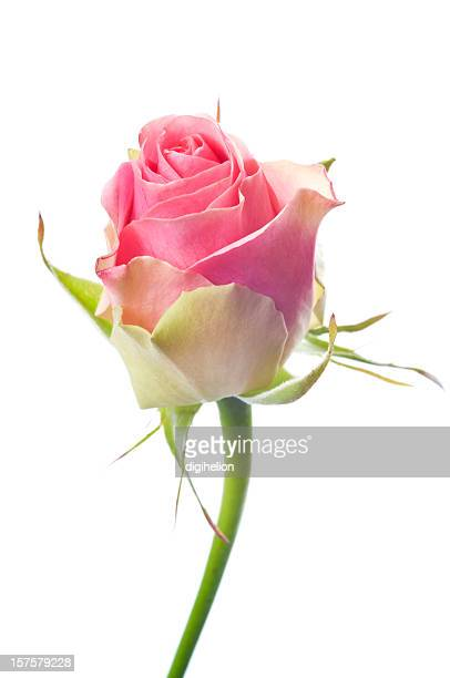 Beautiful pink rose on white