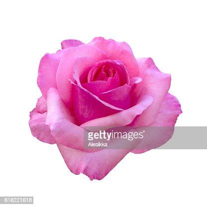 Schöne Rosa rose  : Stock-Foto
