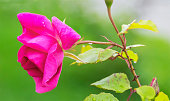 Pink rose bud on a stem with thorns on a green summer meadow background.