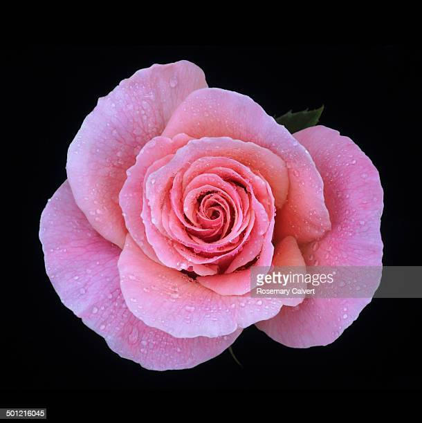Beautiful pink rose with dew drops