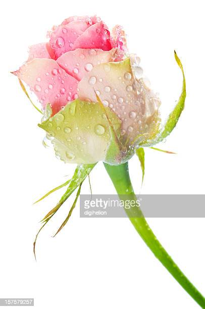 Belle rose rose avec waterdrops sur blanc
