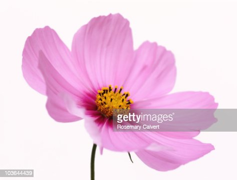 Beautiful pink, soft focus cosmos flower. : Stock Photo