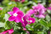 beautiful pink vinca flowers madagascar periwinkle