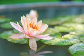 A beautiful pink water lily with green leaf in a lotus pond.