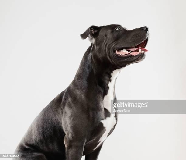 Beautiful pit bull dog sitting portrait
