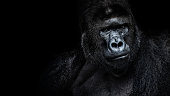 Beautiful Portrait of a Gorilla. Male gorilla on black background, severe silverback, anthropoid ape